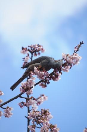 10 寒桜とヒヨドリ.jpg