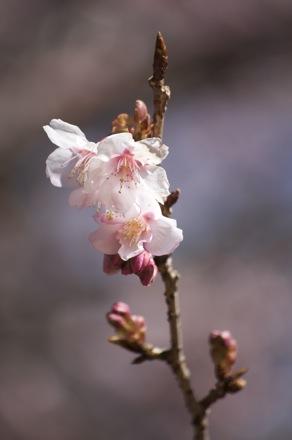 4 寒桜.jpg