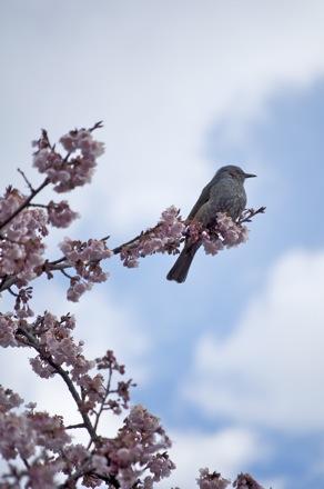 5 寒桜とヒヨドリ.jpg