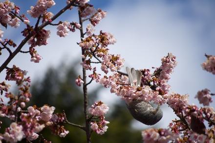 6 寒桜とヒヨドリ.jpg