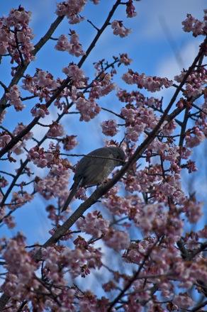 7 寒桜とヒヨドリ.jpg