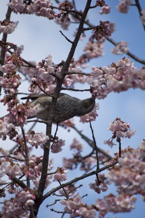 8 寒桜とヒヨドリ.jpg