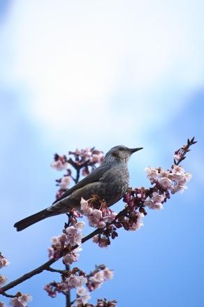 9 寒桜とヒヨドリ.jpg